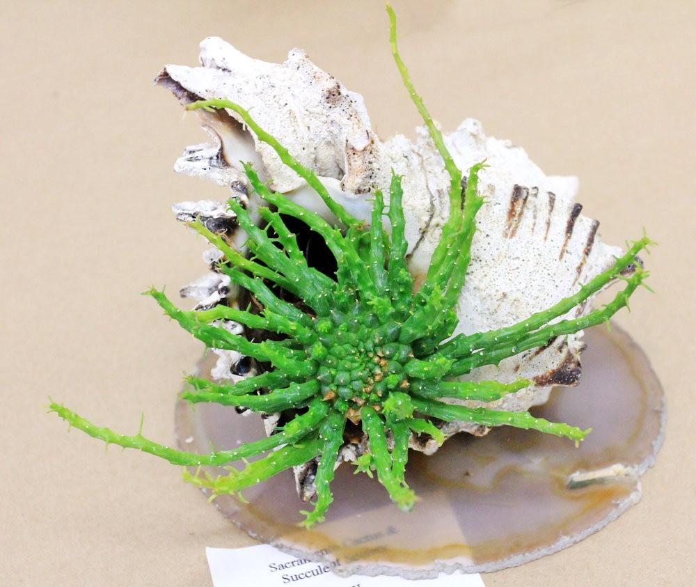 第53届萨克拉曼多仙人掌与肉质学会展览和销售---2_图1-33