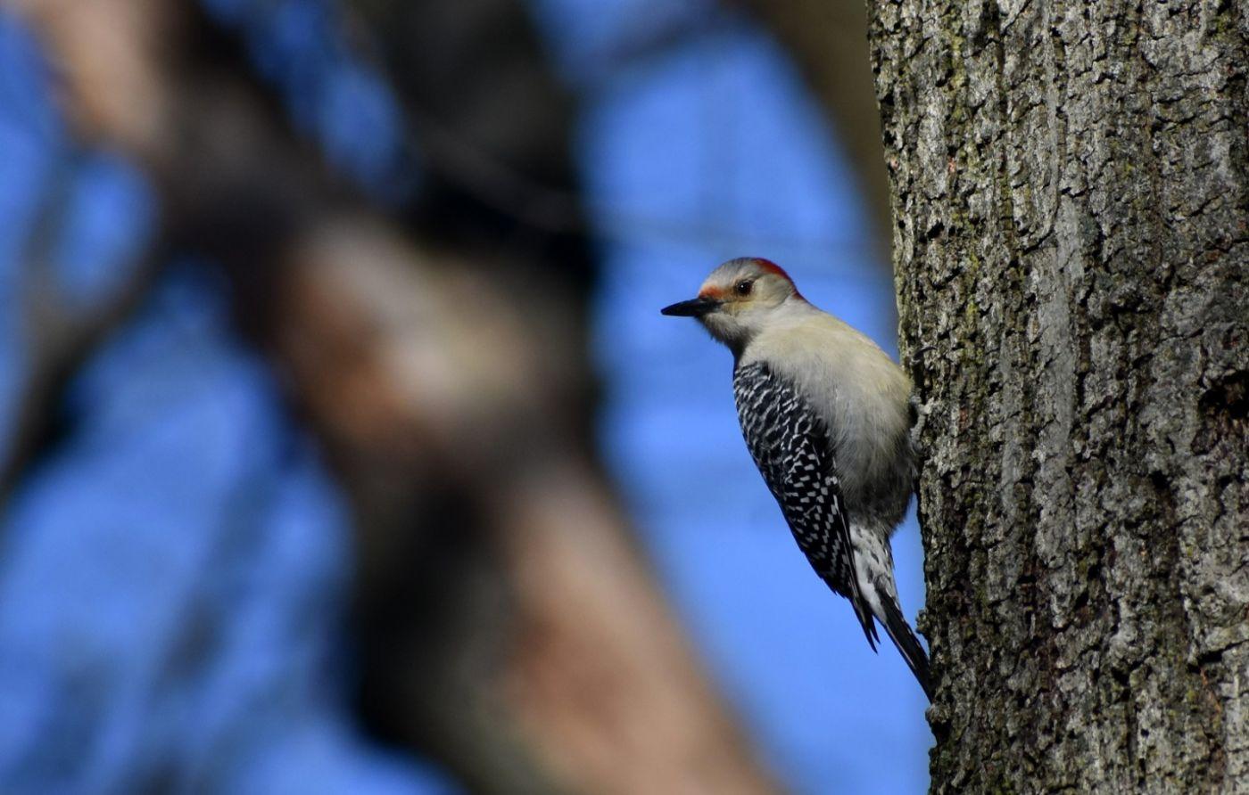 红腹啄木鸟_图1-16