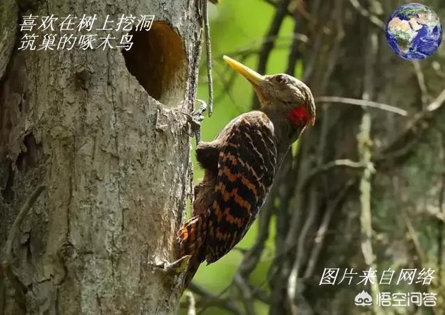 红腹啄木鸟_图1-23