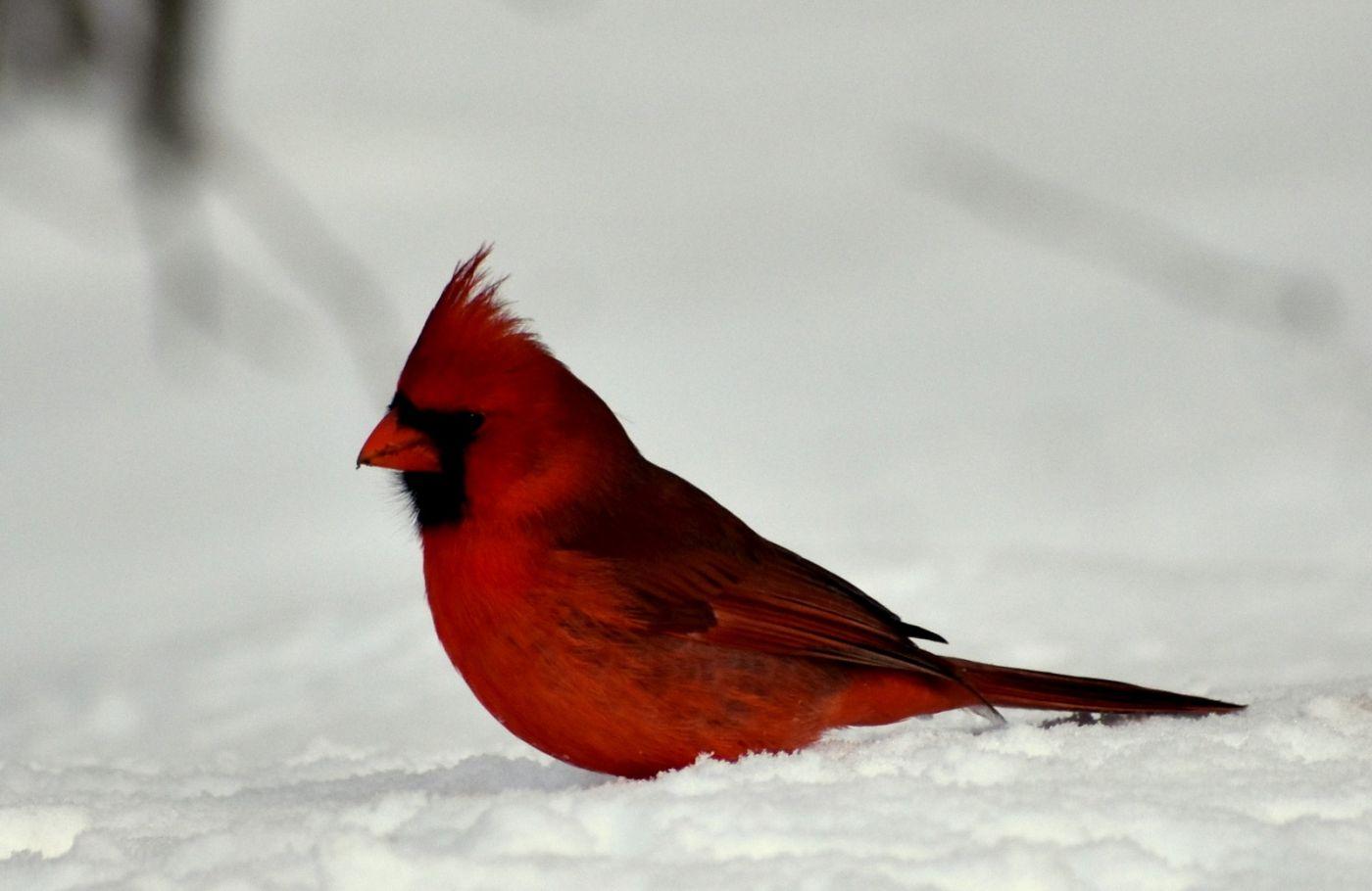 红衣主教 (雄鸟)_图1-3
