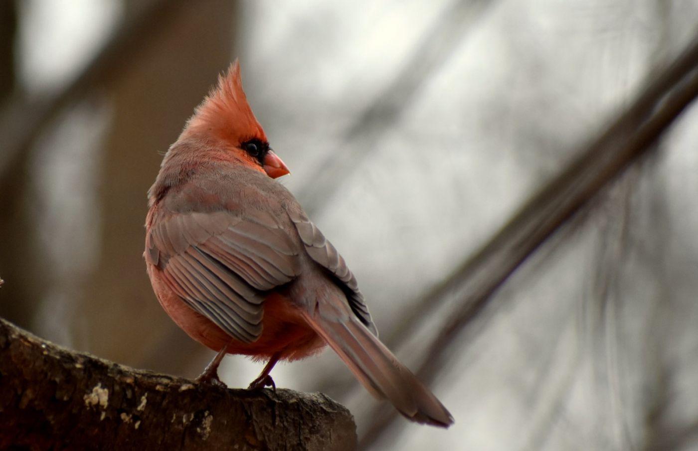 红衣主教 (雄鸟)_图1-22