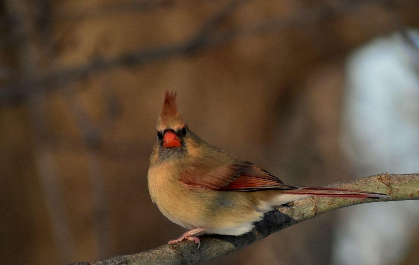 红衣主教 (雌鸟)_图1-3