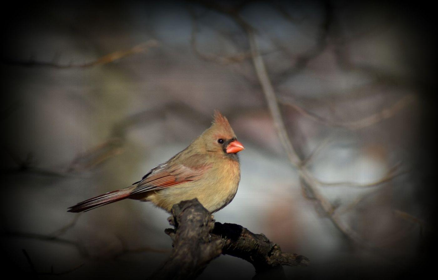 红衣主教 (雌鸟)_图1-6