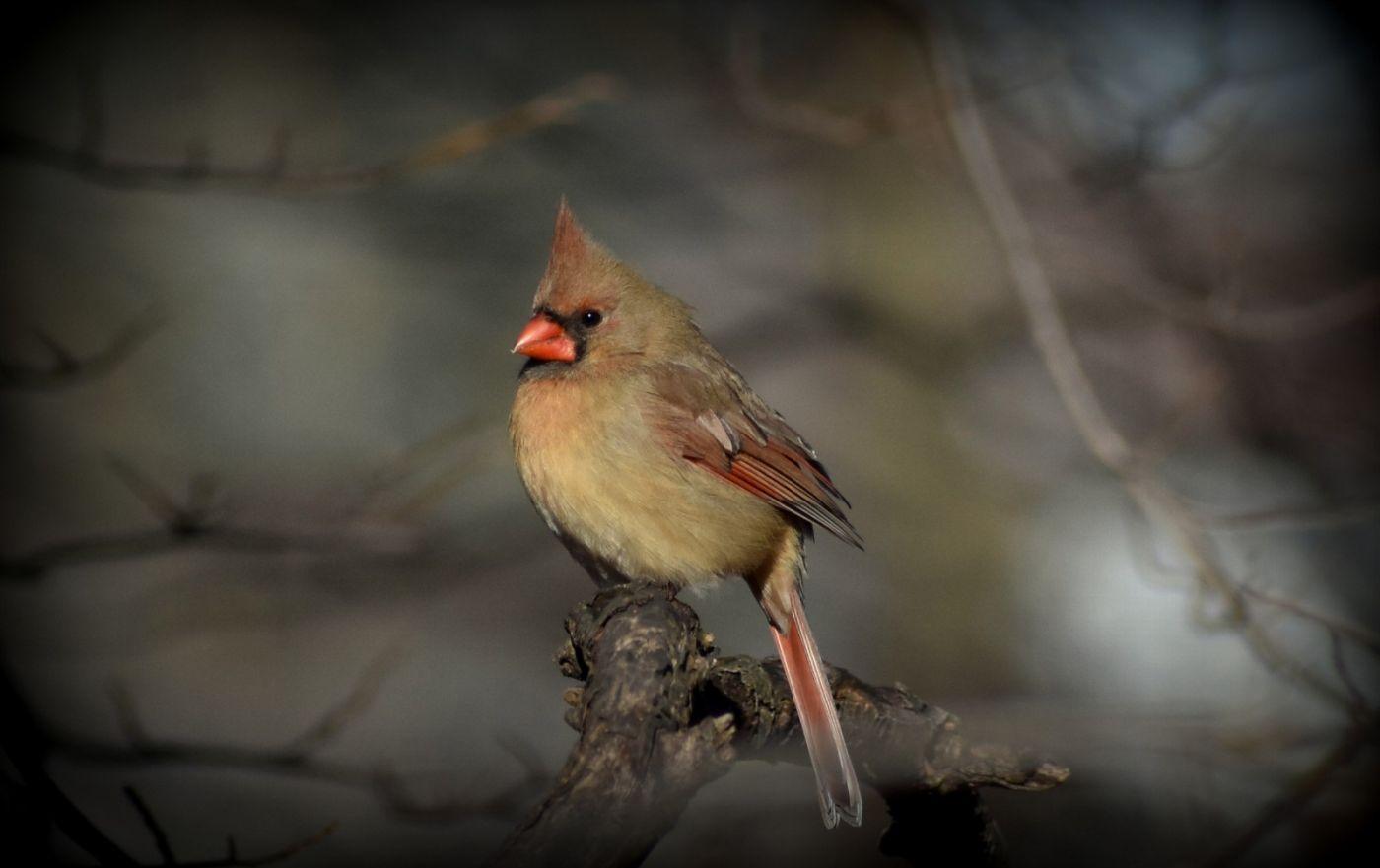 红衣主教 (雌鸟)_图1-7