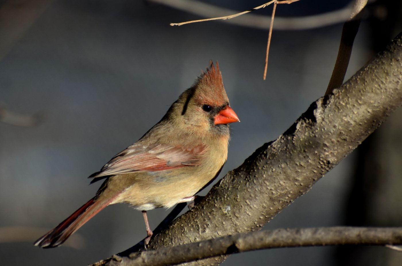 红衣主教 (雌鸟)_图1-10