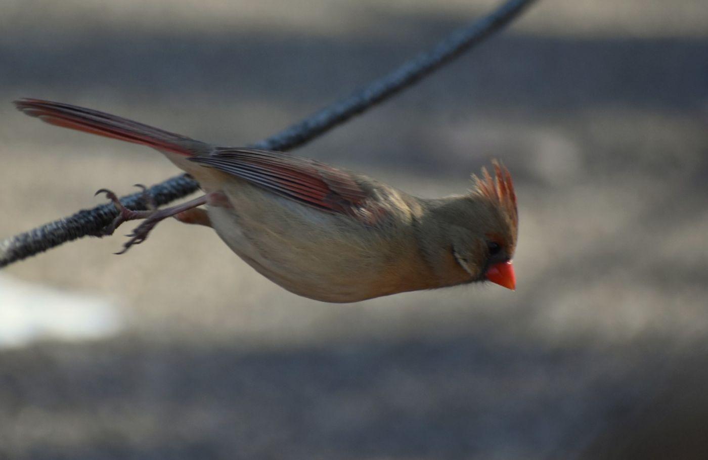 红衣主教 (雌鸟)_图1-15