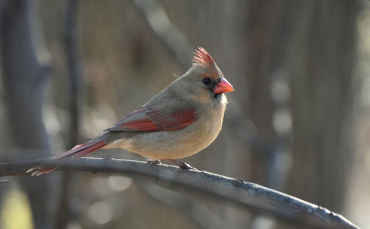 红衣主教 (雌鸟)_图1-16