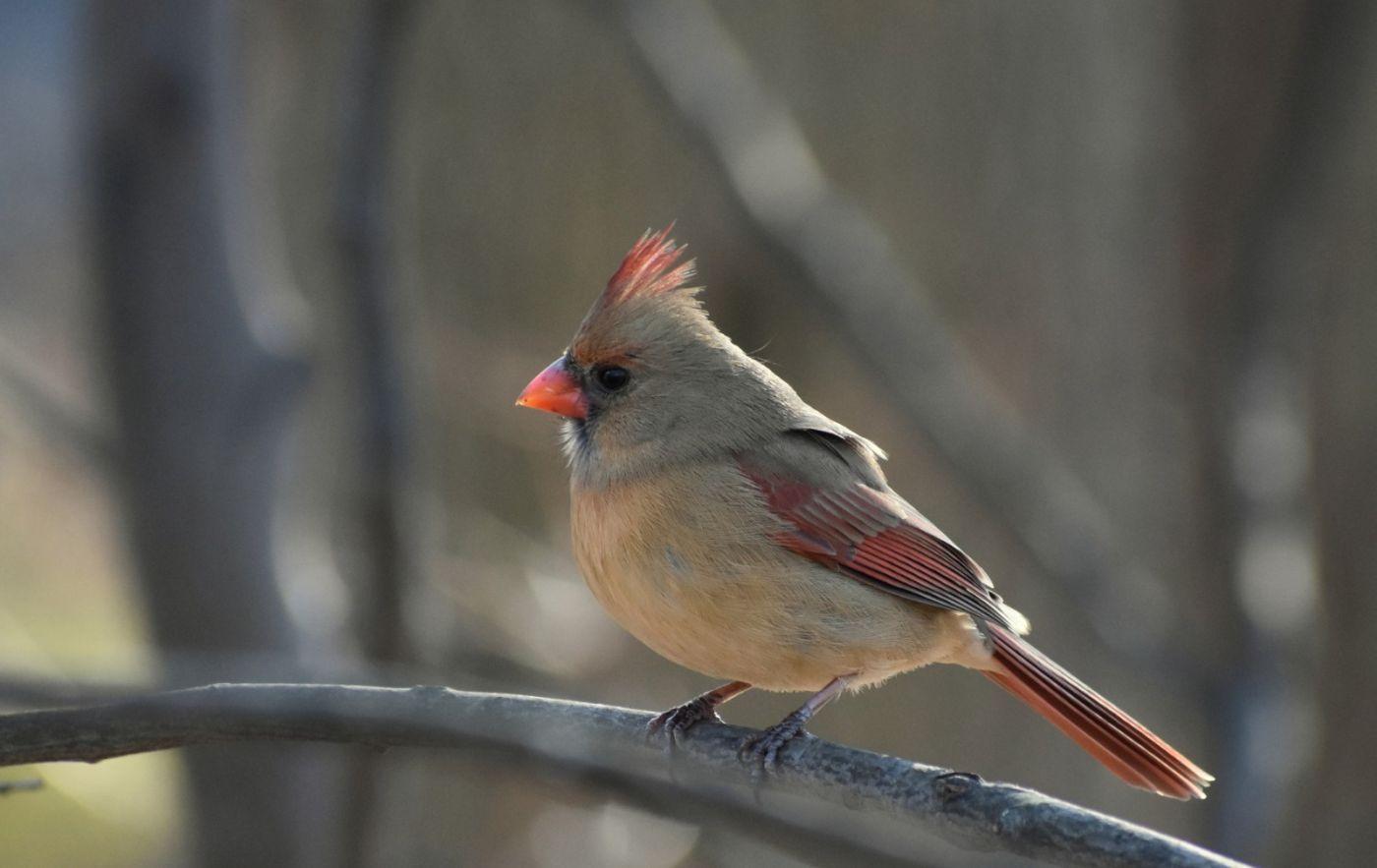 红衣主教 (雌鸟)_图1-19