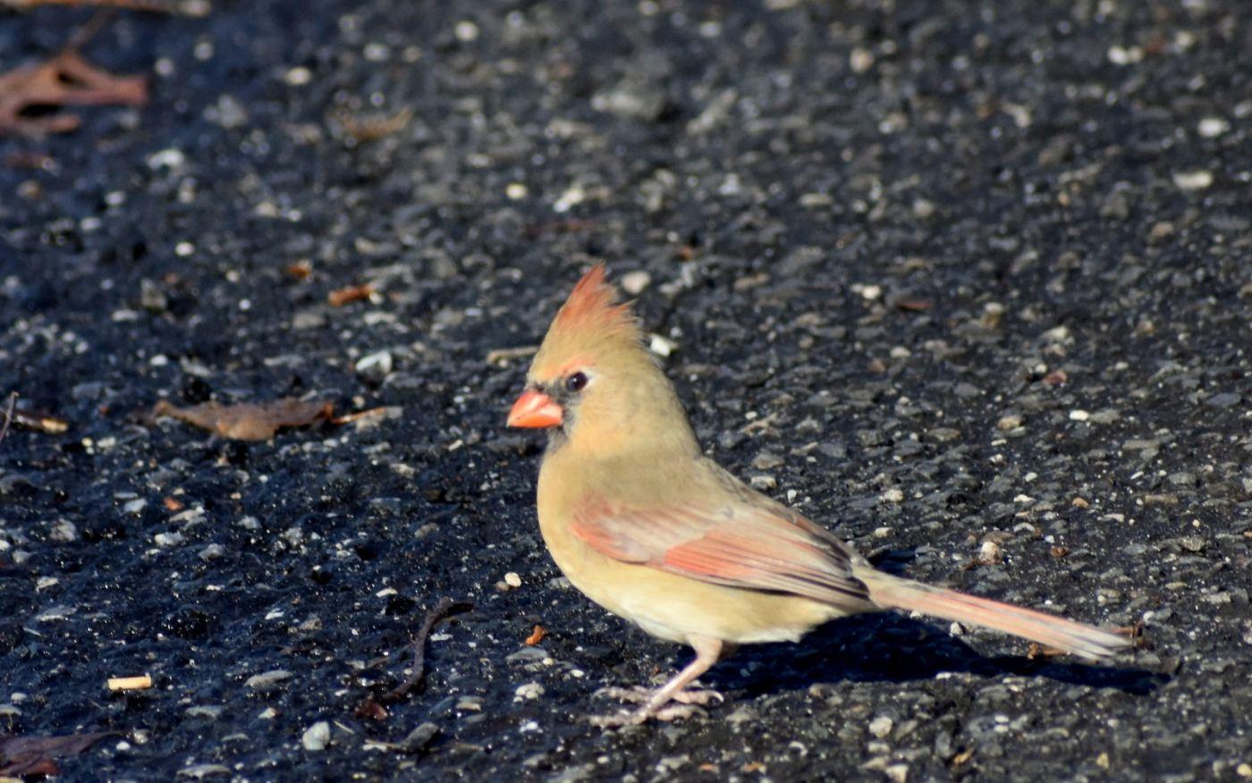 红衣主教 (雌鸟)_图1-22