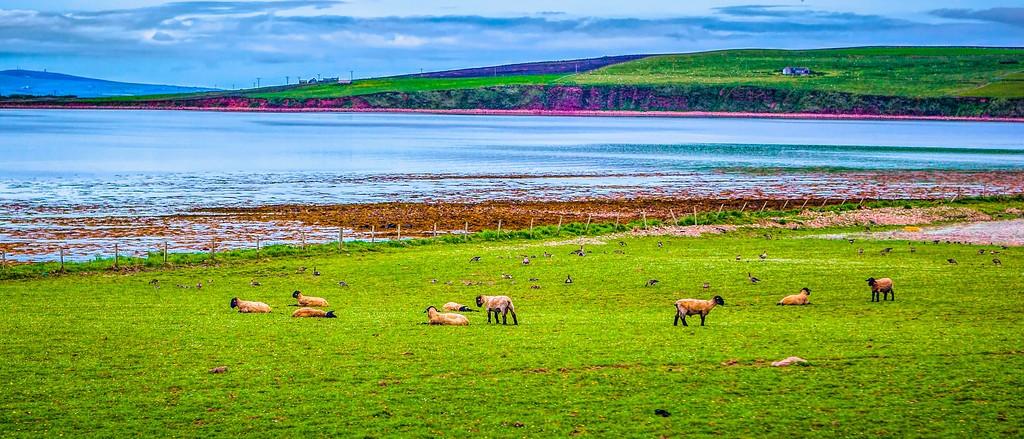 苏格兰奥克尼岛(Orkney Islands),田园牧歌_图1-10