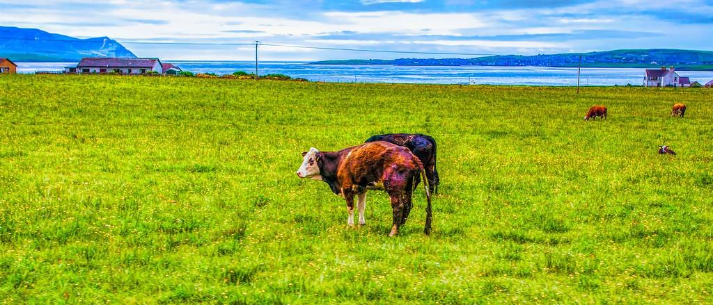 苏格兰奥克尼岛(Orkney Islands),田园牧歌_图1-7