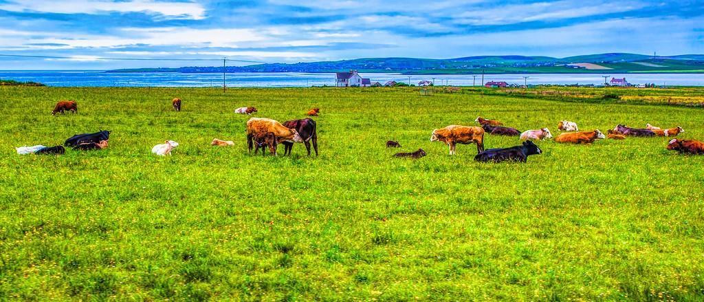 苏格兰奥克尼岛(Orkney Islands),田园牧歌_图1-4