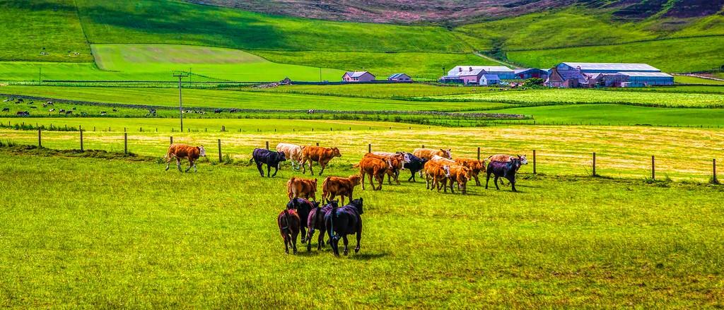 苏格兰奥克尼岛(Orkney Islands),田园牧歌_图1-1