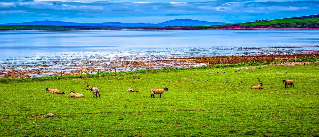 苏格兰奥克尼岛(Orkney Islands),田园牧歌_图1-2