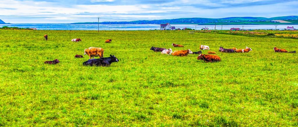 苏格兰奥克尼岛(Orkney Islands),田园牧歌_图1-20