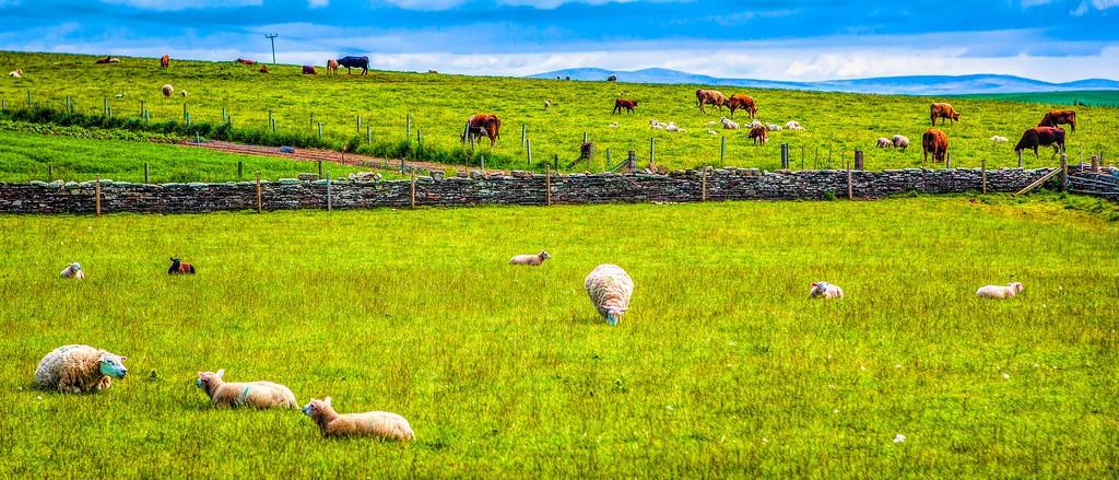 苏格兰奥克尼岛(Orkney Islands),田园牧歌_图1-31