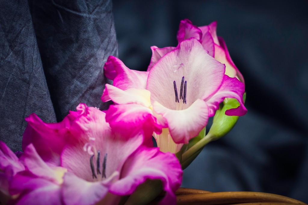 菖兰花,幽静素雅_图1-3