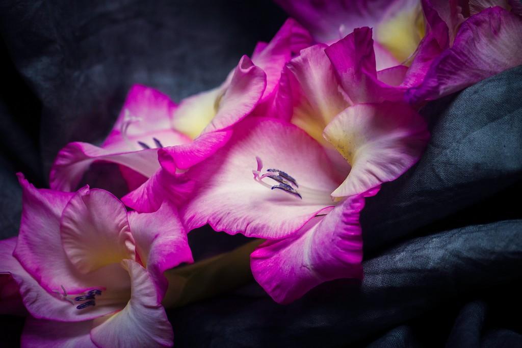 菖兰花,幽静素雅_图1-6