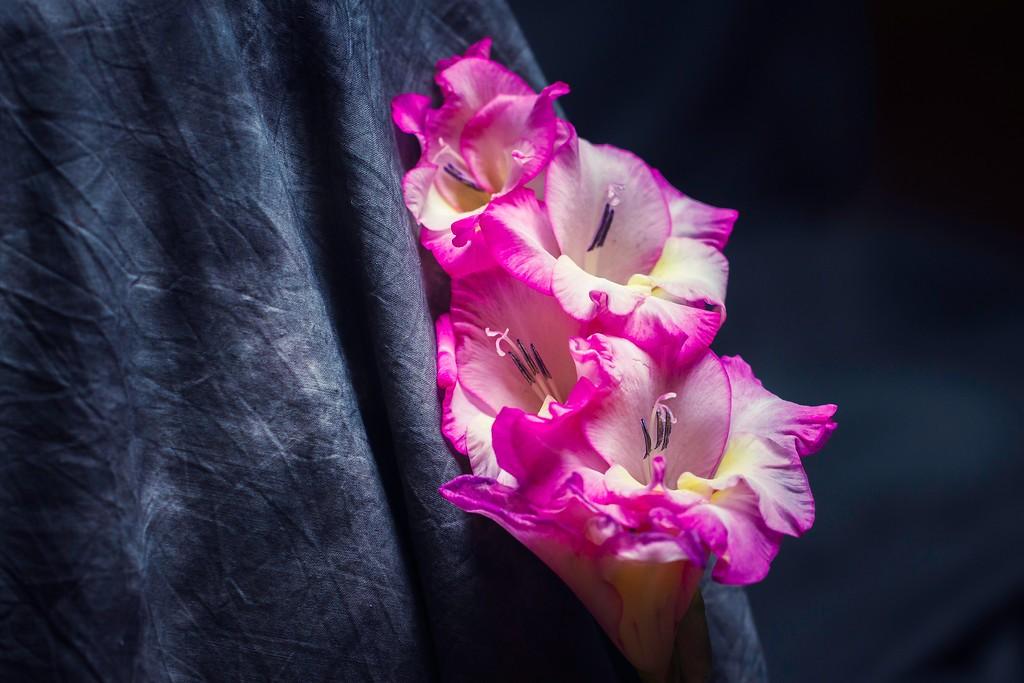 菖兰花,幽静素雅_图1-15