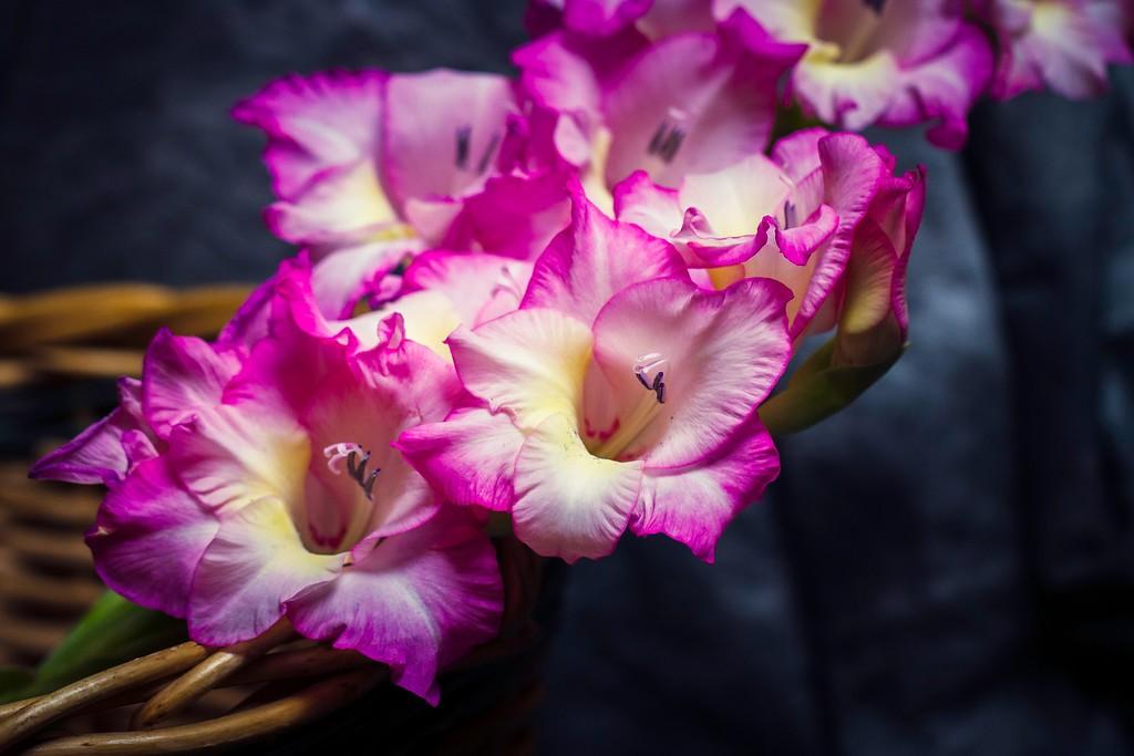 菖兰花,幽静素雅_图1-18