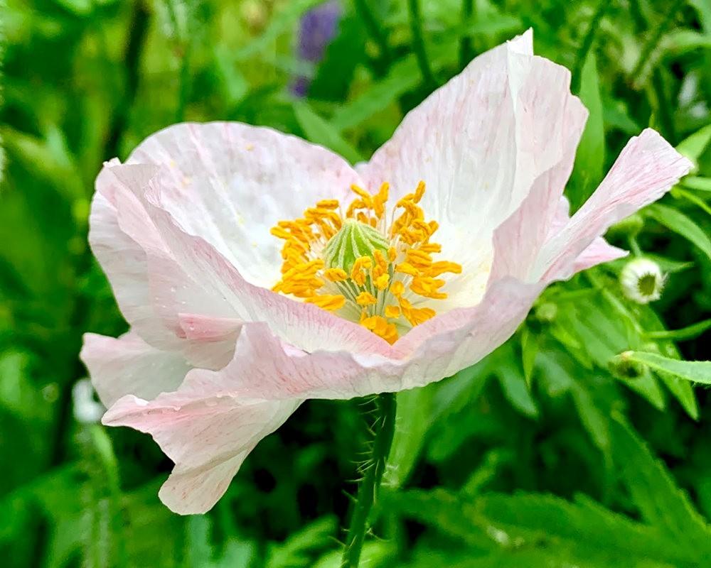罂粟.水仙与百合_图1-5