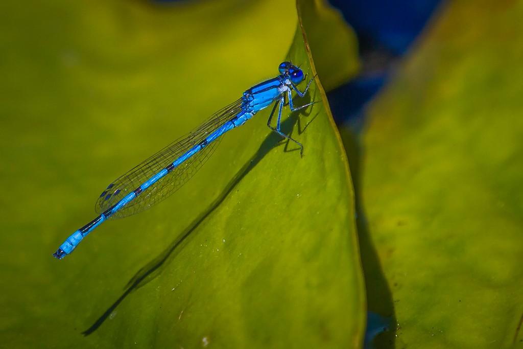 小蜻蜓,近观_图1-9