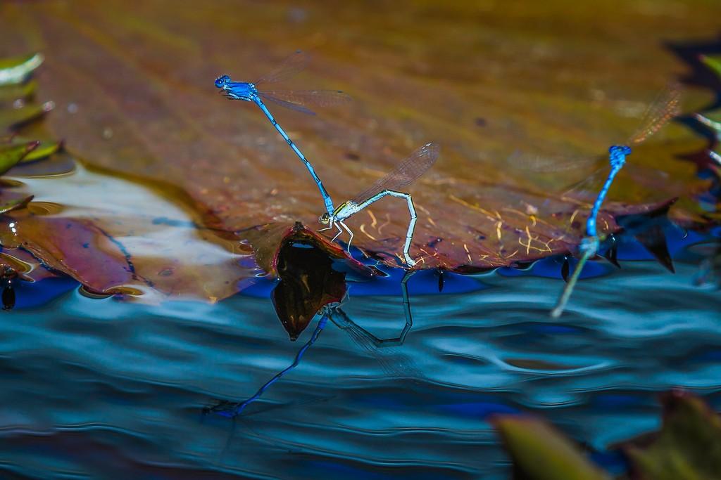 小蜻蜓,近观_图1-8
