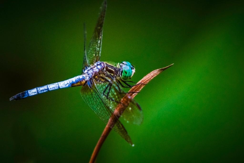 小蜻蜓,近观_图1-7