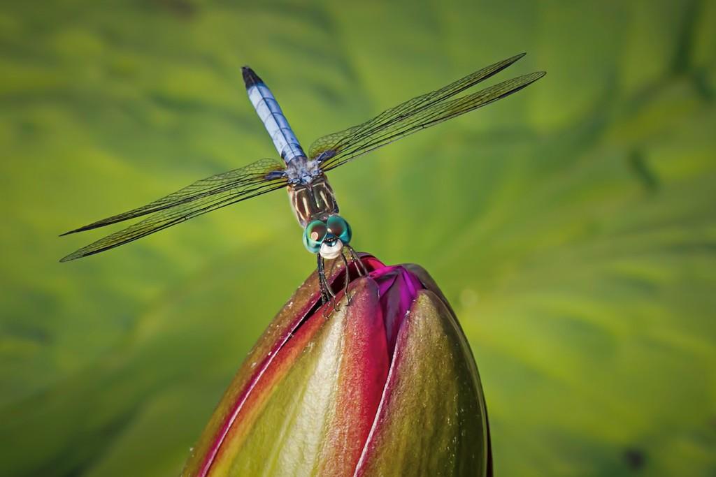 小蜻蜓,近观_图1-11