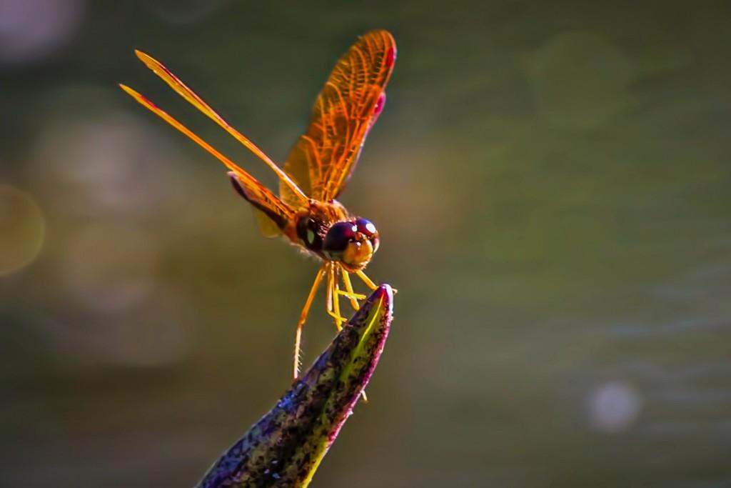 小蜻蜓,近观_图1-3