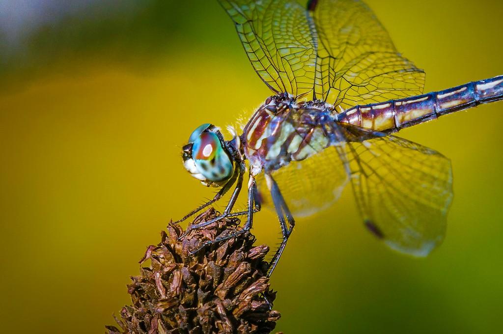 小蜻蜓,近观_图1-1