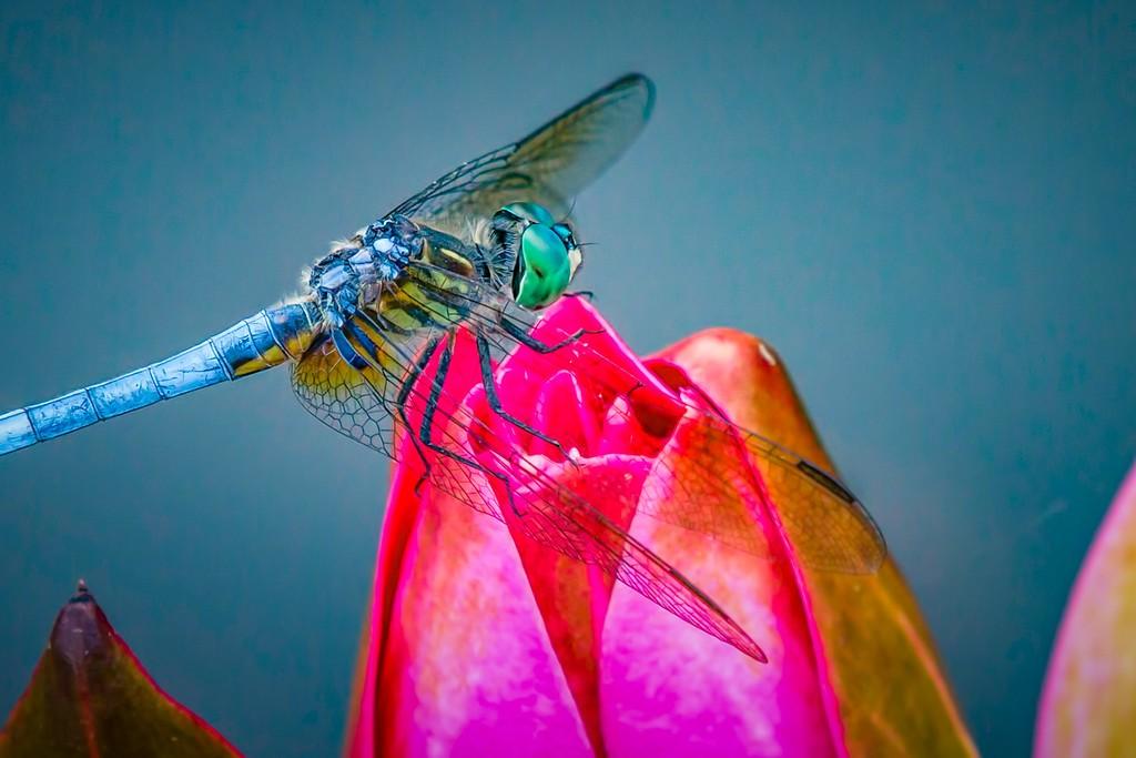 小蜻蜓,近观_图1-4