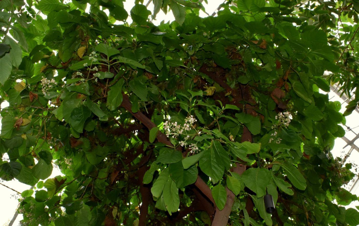 金鸡纳树_图1-18