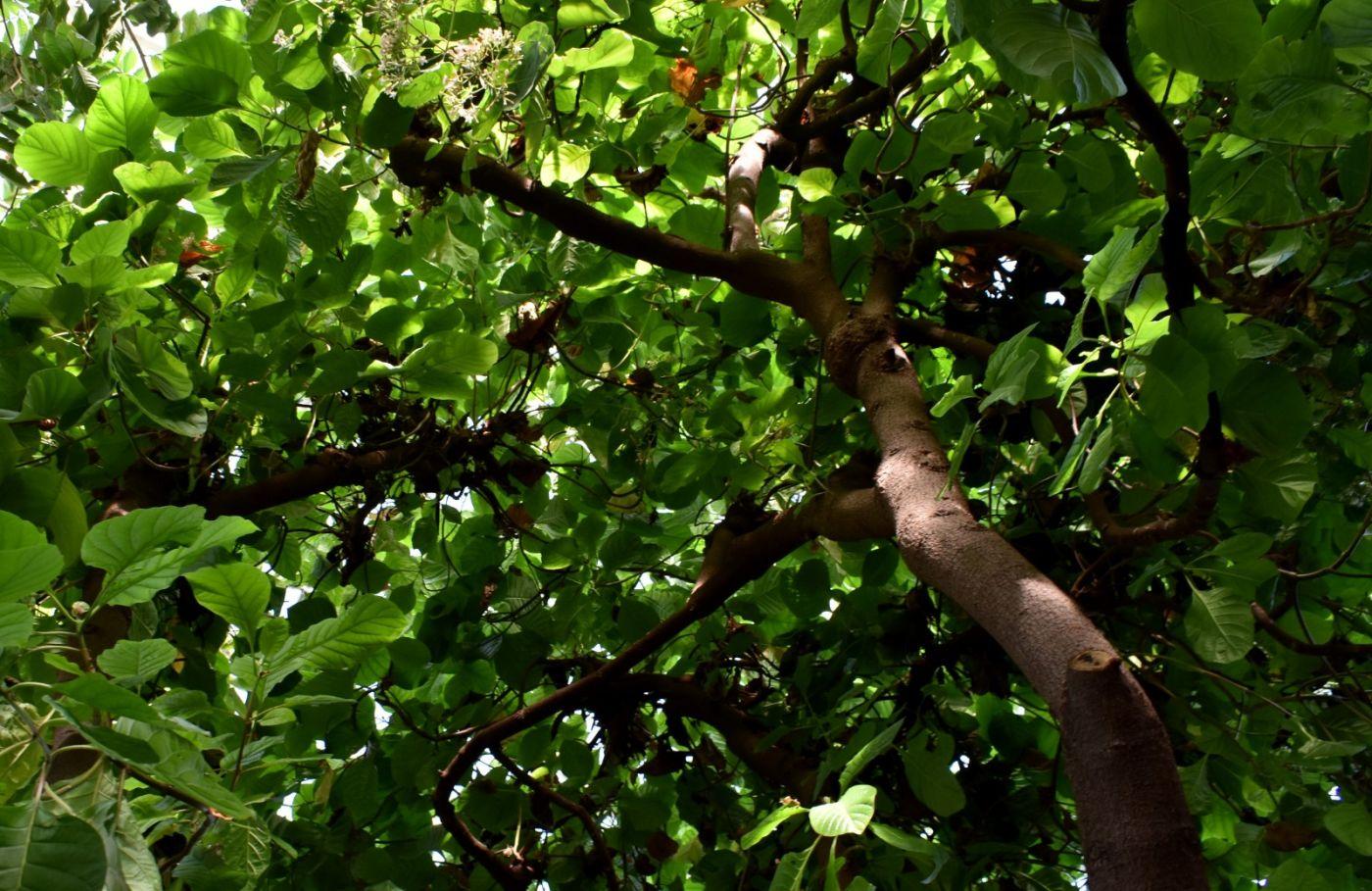 金鸡纳树_图1-23