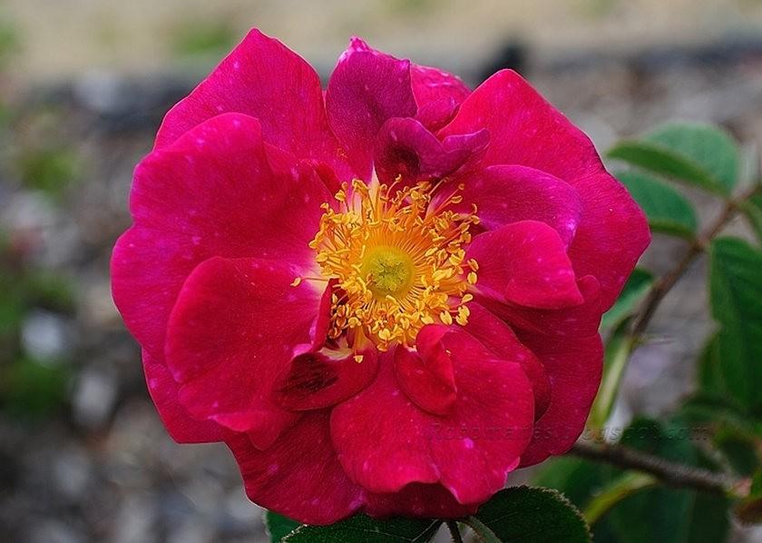 仲夏玫瑰---3_图1-1