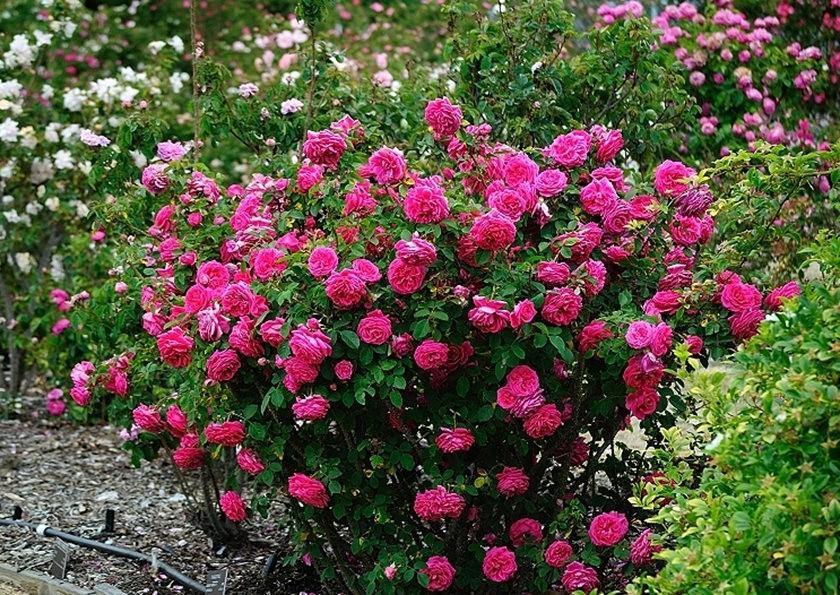 仲夏玫瑰---3_图1-2