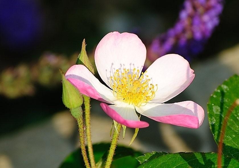 仲夏玫瑰---3_图1-4
