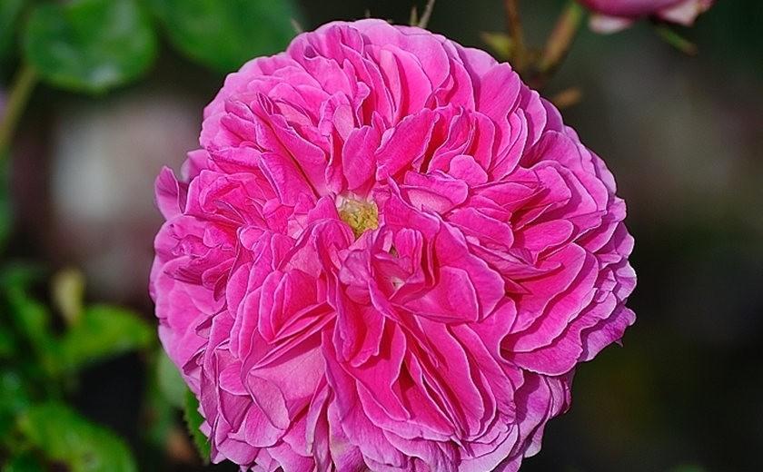 仲夏玫瑰---3_图1-7