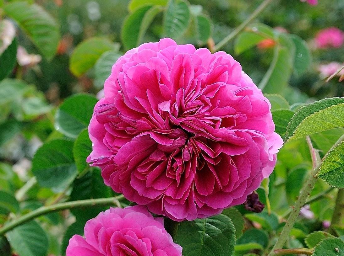 仲夏玫瑰---3_图1-8