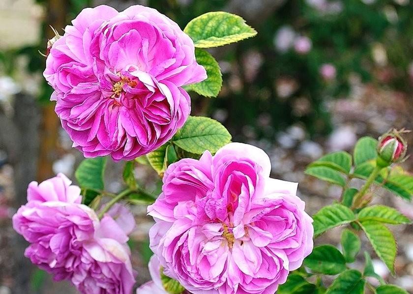 仲夏玫瑰---3_图1-9