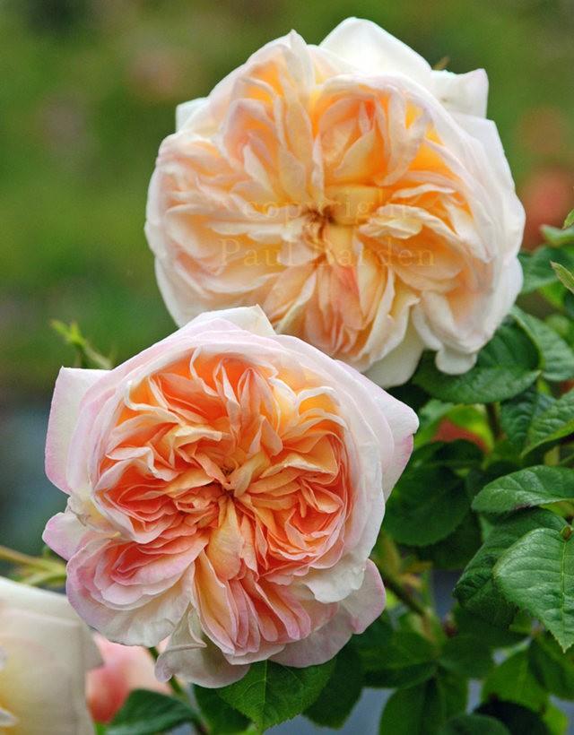 仲夏玫瑰---3_图1-10