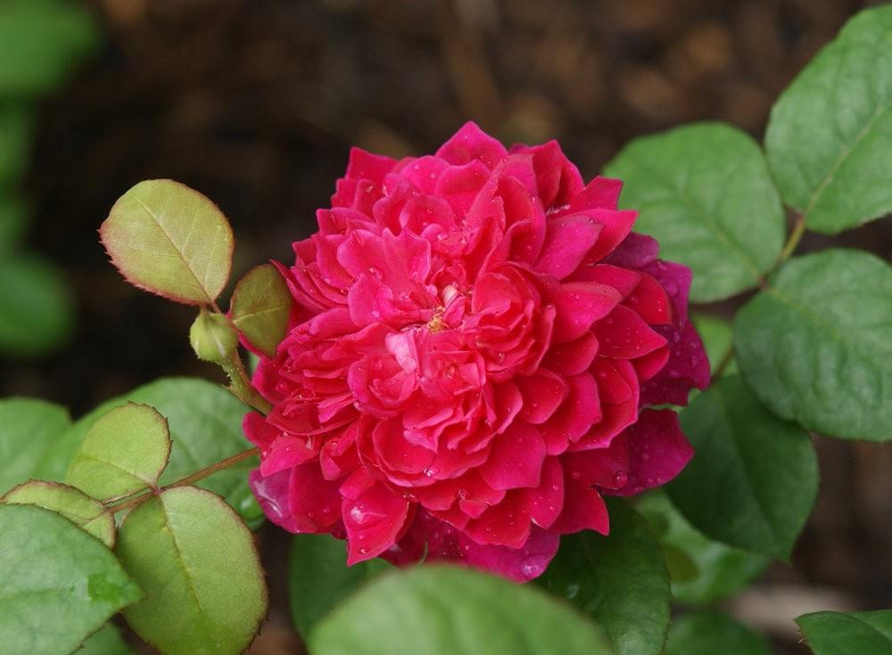 仲夏玫瑰---3_图1-11