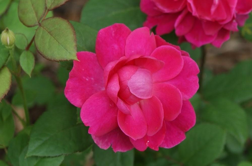 仲夏玫瑰---3_图1-12