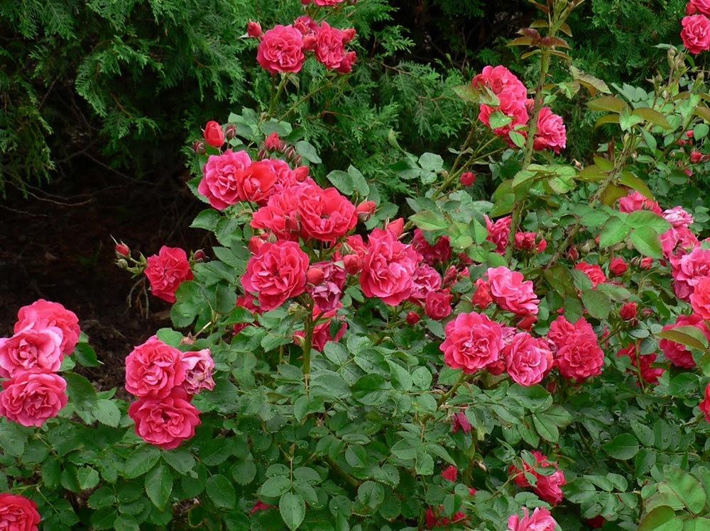 仲夏玫瑰---3_图1-13