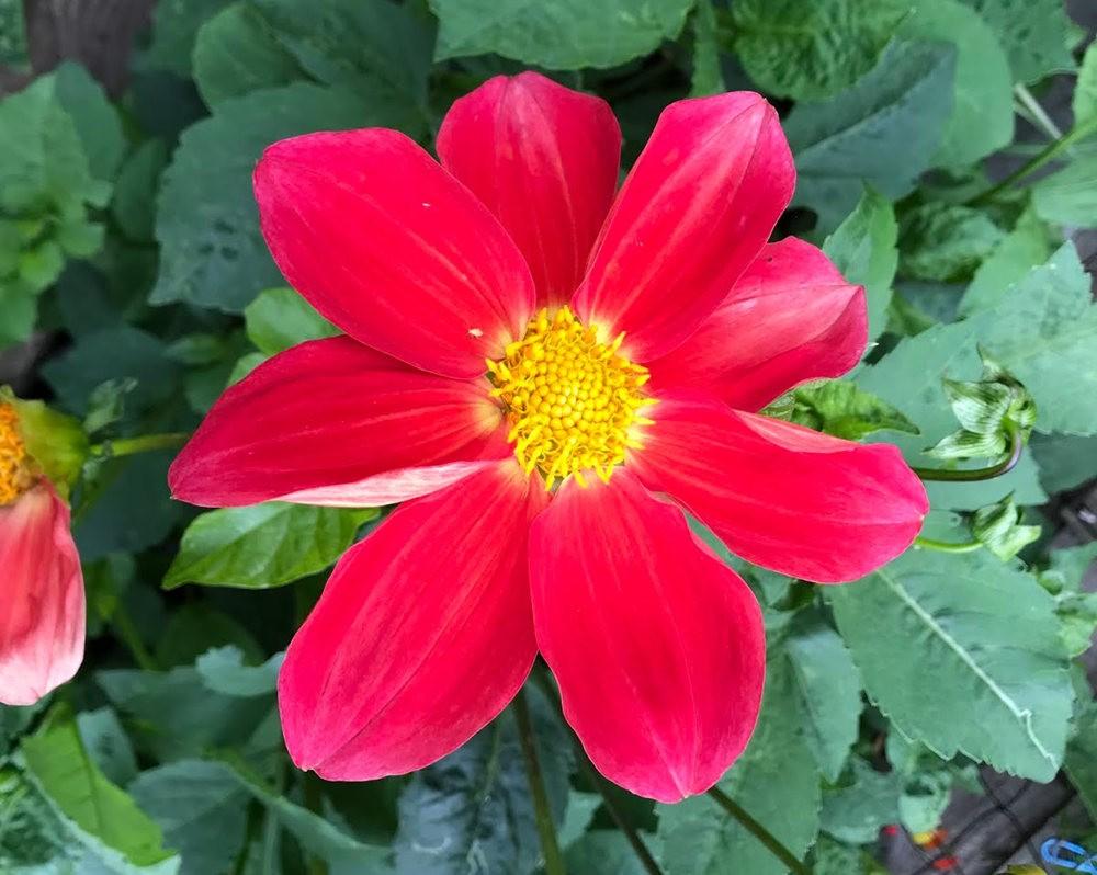 花卉日记之---大丽花_图1-10