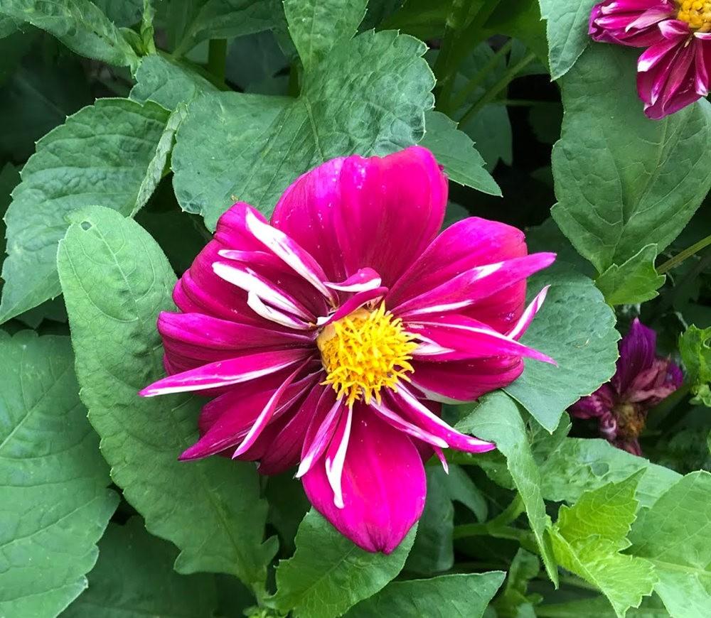 花卉日记之---大丽花_图1-16
