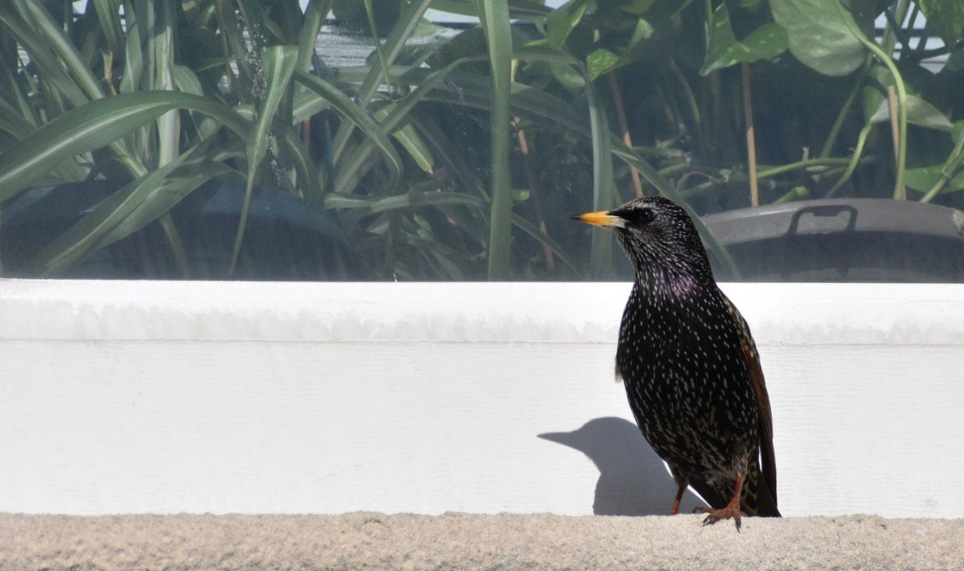 紫翅椋鸟_图1-8