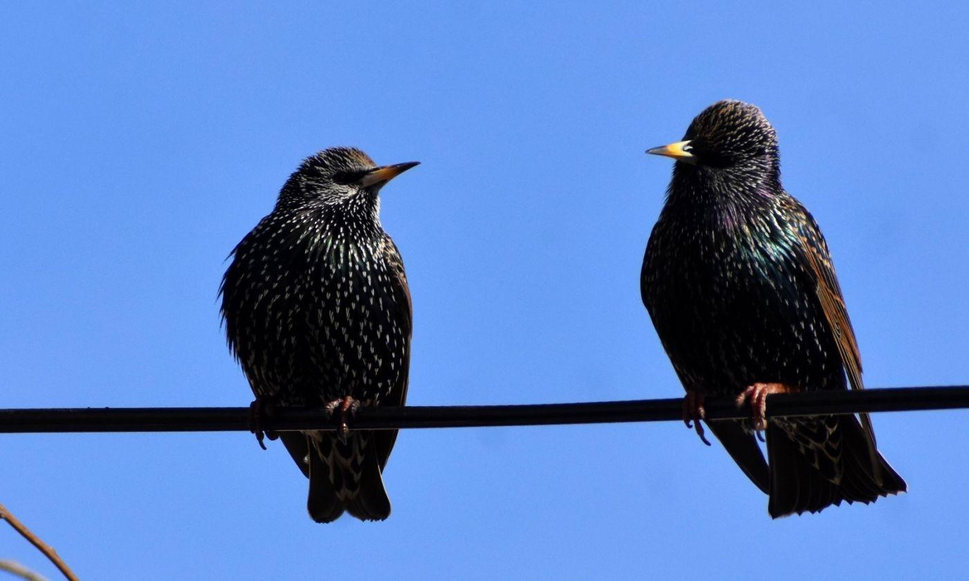 紫翅椋鸟_图1-15
