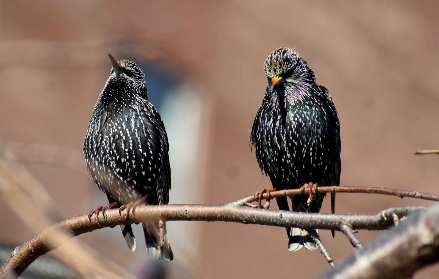 紫翅椋鸟_图1-17