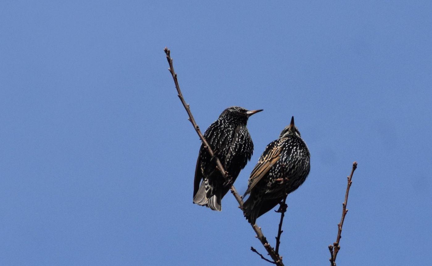 紫翅椋鸟_图1-18